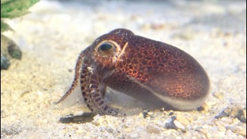 Adorable New Type of 'Dumpling Squid' Found Off Japan's Coast