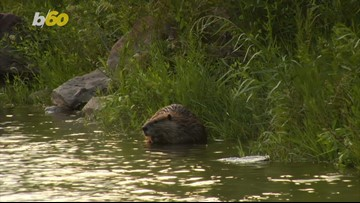 Why Did the Beaver Cross The Road? Dashcam Video Shows Beaver Dragging Branch Across Highway