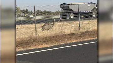Emu-gency! Highway Patrol Gets Strange Call About Runaway Emu