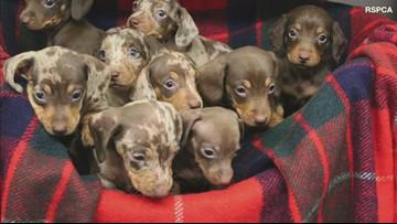 Nine Adorable Dachshund Puppies Named After Santa's Reindeer