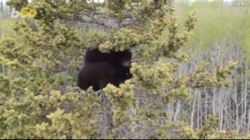 Amazing Rescue of Orphaned Baby Bears Stuck in a Tree for Days