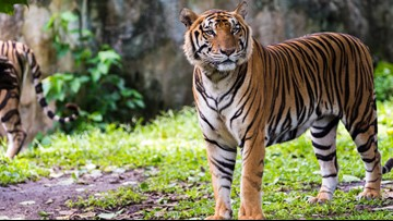 Topeka Zoo employee injured by tiger