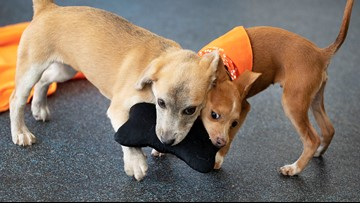 Puppy named Apple sets relocation milestone for homeless pets