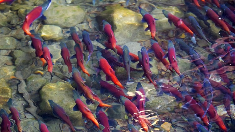 Congressman proposes plan to breach dams, save salmon ...