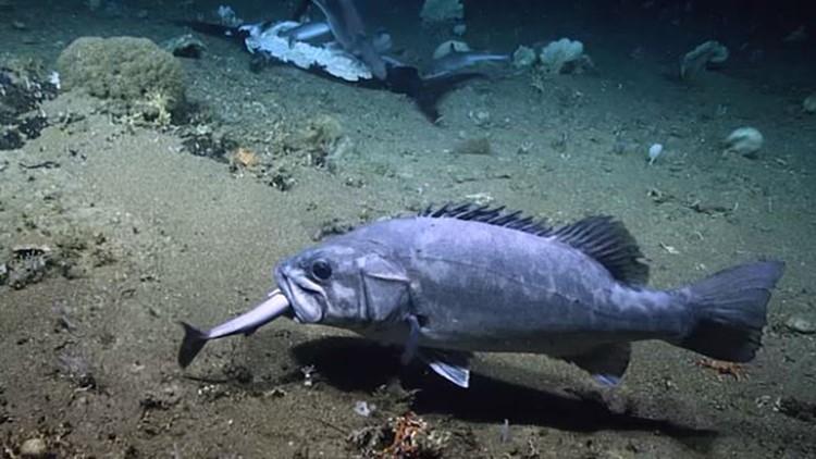 Wreckfish eats shark