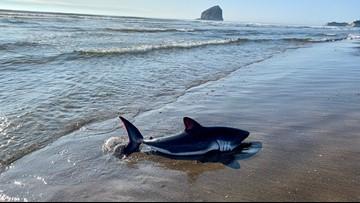 Beached shark along Oregon Coast gives families a scare
