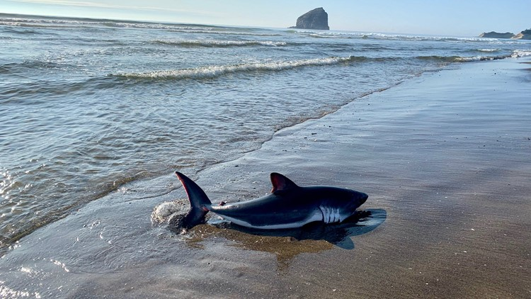 Beached salmon shark