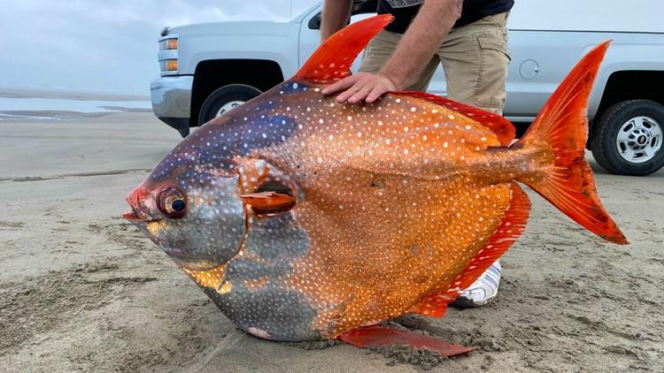 100-pound tropical fish rare to Oregon Coast found on shore