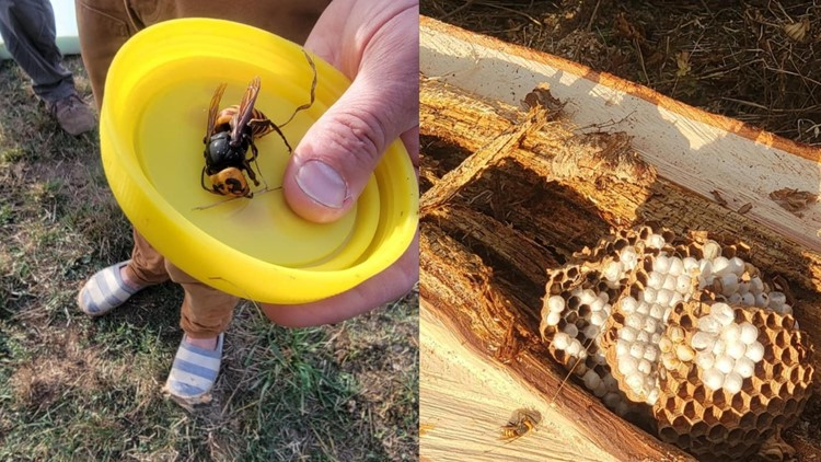 3rd Asian giant hornet nest of 2021 found, 2nd nest eradicated in Whatcom County