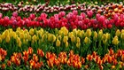WATCH: Fly over the Skagit Valley Tulip Festival