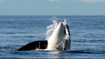 Orca task force recommends whale watching ban