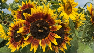 Big blooms shine at Snohomish Sunflower Festival