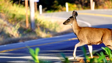 Why there are more deer-car collisions in fall