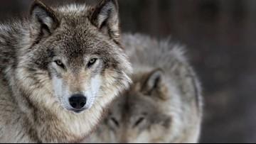 Bill would ship problem wolves to Bainbridge Island
