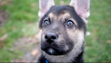 There's still hope for Washington puppy Logan after first surgery attempt