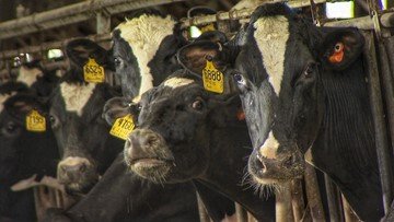 Dairy farms take $4 million hit from cows lost in blizzard