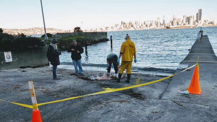 12 sea lions shot in Puget Sound area since September