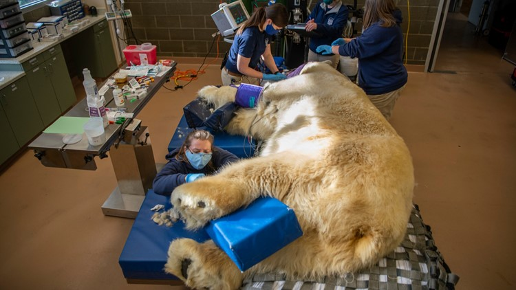 Senior polar bear at Tacoma's Point Defiance Zoo & Aquarium gets clean bill of health