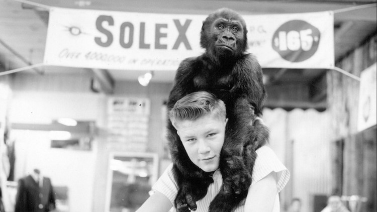 Meet Ivan: The Tacoma gorilla who changed the world