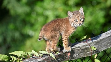 Photogenic bobcat kitten spotted in Snoqualmie