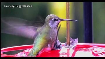 Hummingbird attempts to rescue companion stuck in Sequim feeder
