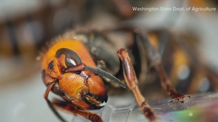 Washington considers new rules to help eradicate invasive Asian giant hornets