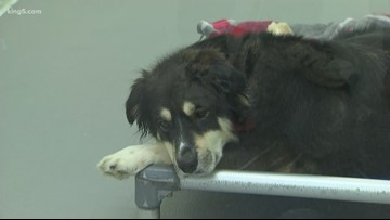 Tacoma animal shelter overwhelmed after taking in dogs from fighting ring
