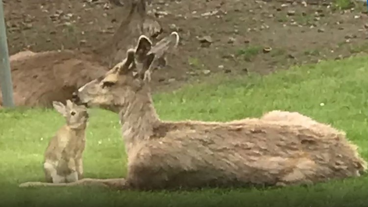 Real-life Bambi and Thumper spotted in small Washington town