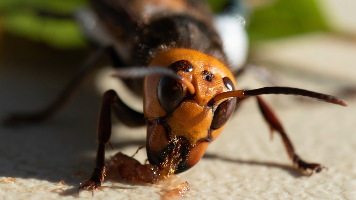 'Attack of the Murder Hornets' documentary shows Washington's hunt for the invasive species