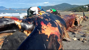 Scientists to study rare, intact blue whale carcass washed up on Oregon shores