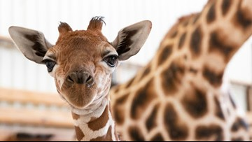 Woodland Park Zoo's baby giraffe ditches his shoes