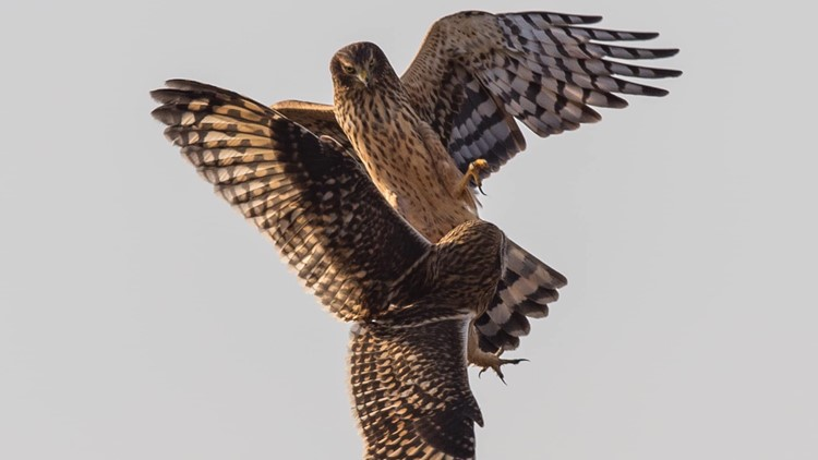 Owl and hawk have mid-air fight in Skagit County