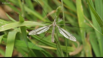 Crane flies can be harmful to your lawn