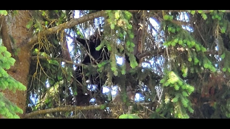 A bear has climbed a tree in Coeur d'Alene.