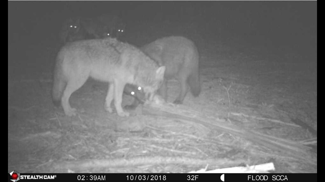 Ferry County ranchers fed up with wolf attacks, demand state action