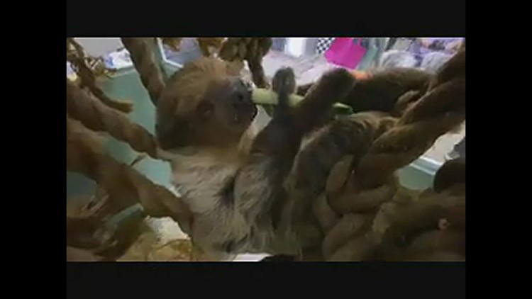 Jerry the sloth
