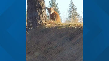 Cougar spotted near Chattaroy Elementary School killed by Fish and Wildlife