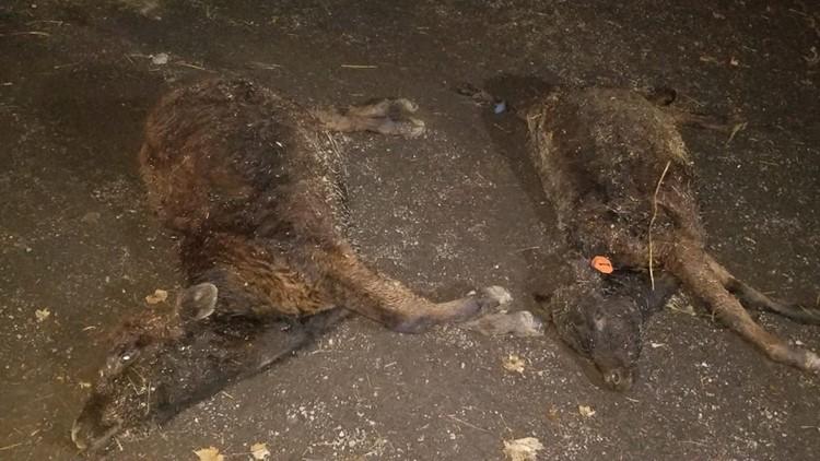 Dead Calves