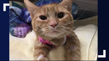 Spokane cat battling breast cancer recovering from double mastectomy
