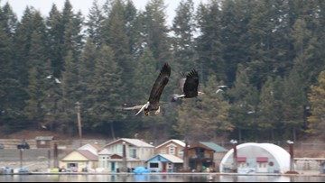 Bald eagle counts dip on Lake Coeur d'Alene compared to previous years