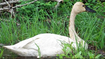 Mine waste in Coeur d'Alene River Basin is killing tundra swans