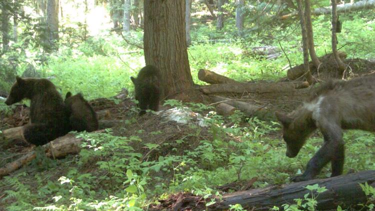 Female bear and her three cubs tracked by biologists near Metaline Falls
