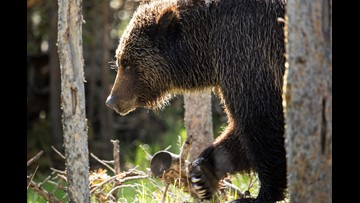 Washington state man faces trial for taking grizzly claws