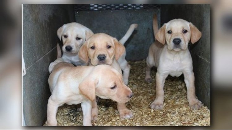 In less than a week, the yellow lab puppy will arrive in Sandpoint.