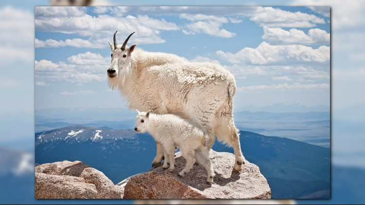 Every summer, the forest service receives multiple reports of people getting too close to mountain goats on the Scotchman Peak Trail in Sandpoint.