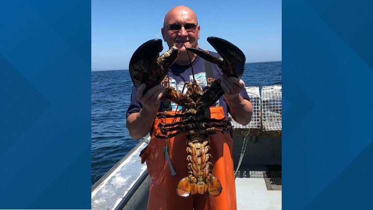 Too big for even a trap, a 25-pound lobster required some serious muscle to pull it out of the ocean off the coast of Phippsburg, Maine.