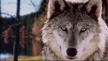Wolves who killed cows in Ferry Co. won't be killed, yet