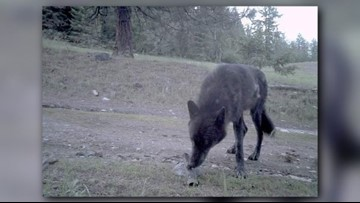 Ferry County rancher shoots, injures Togo wolf, officials say