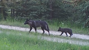 State marksman kills wolf from pack who attacked cattle in Ferry Co.