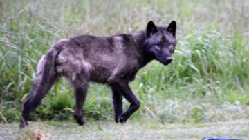 State orders killing of wolves from 2 more packs